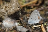 IMG_1002 Short-tailed Blue